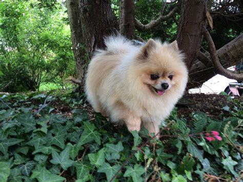 small pomeranian puppies 1 small pedigree pomeranian puppy left ayr ayrshire pets4homes