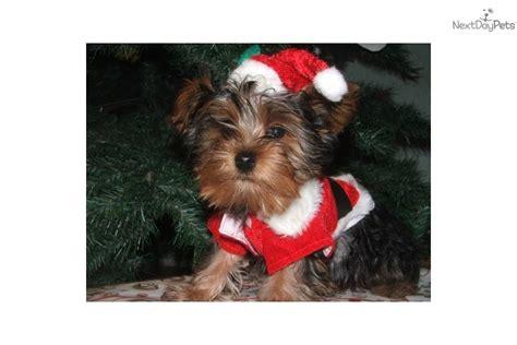 yorkie puppies for sale sioux falls sd terrier yorkie puppy for sale near sioux falls se sd south dakota