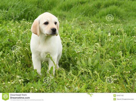 green labrador puppy a yellow labrador puppy in green grass stock photo image 53427193