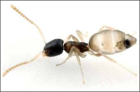 Small Brown Ants In Kitchen - ghost ant control types of ants ant facts get rid of ants jameswhiteants com my