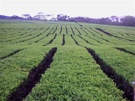 Pabrik Teh Pucuk lpm gs unsri dibalik produksi teh dempo