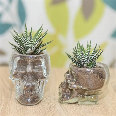 Succulents In Glass Vases by Glass Skull Vase Succulent Terrarium By Dingading Terrariums Notonthehighstreet