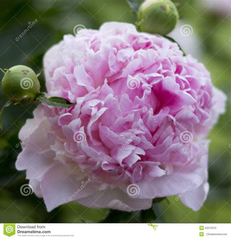 unbloomed peonies pink peony flower stock photo image of peony small