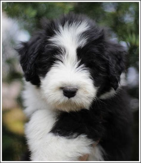 bearded collie puppy best 25 bearded collie ideas on bearded collie puppies collie breeds and
