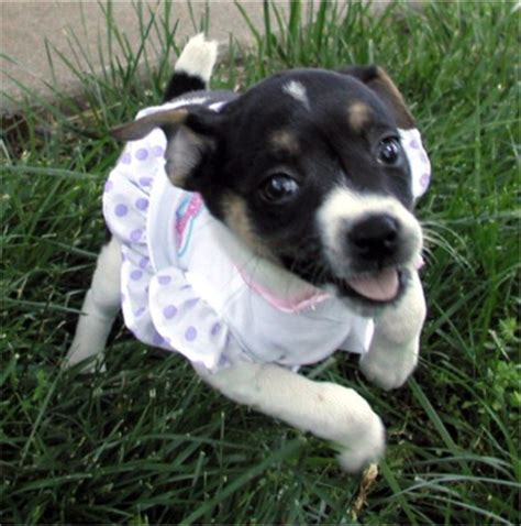 rat terrier puppies for sale rat terrier puppies breeders rat terriers