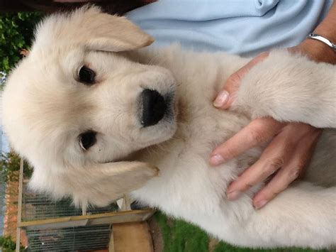 golden retriever puppies for sale gorgeous golden retriever puppy swaffham norfolk pets4homes