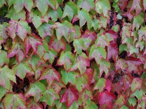 foglie e fiori genova vite americana fiori e fogliefiori e foglie