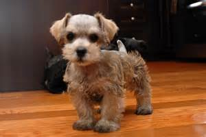 Mini schnoodle puppies schnoodle puppies for sale