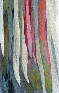 rainbow gum tree bark australia such fun stuff pinterest