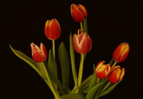 tulipano fiore il tulipano un fiore quot acqua e sapone quot juzaphoto
