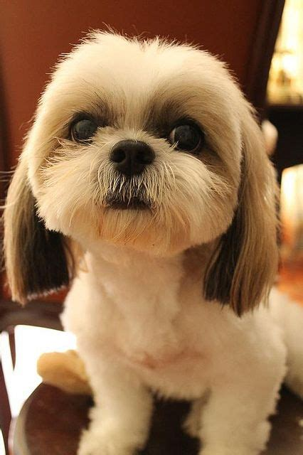 patch shih tzu 388 best images about animal wallpapers pictures pc hd desktop backgrounds images