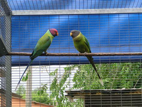 parrocchetto testa di prugna pappagalli parrocchetto testa di prugna