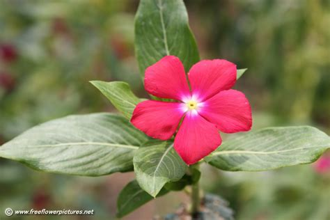 red vinca flower picture flower pictures 3868