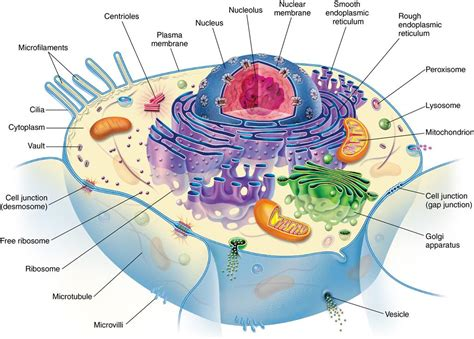Cell Nex 1 development and structure of cells and tissues pocket