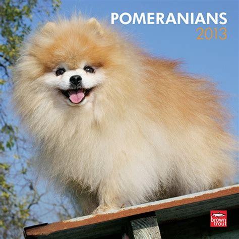 3 pound pomeranian meer dan 1000 afbeeldingen pomeranian op baby pomeranian theekopje