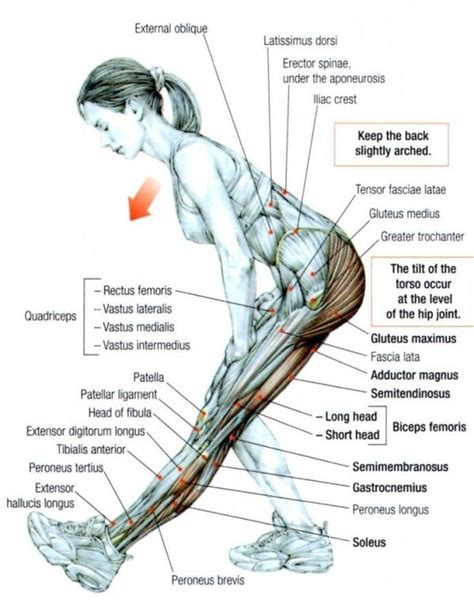 hamstring muscles diagram how to stretch the hamstrings exercising
