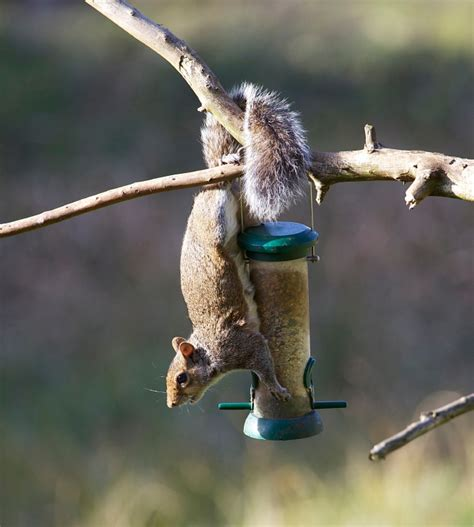 squirrel proof your bird feeders blain s farm fleet blog
