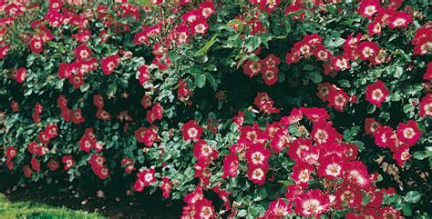 pianta sempreverde con fiori piante per siepe sempreverde qual 232 la pi 249 adatta al tuo