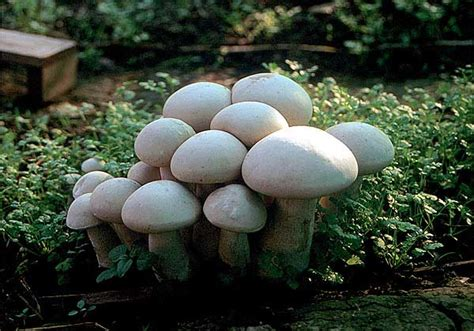 edible backyard mushrooms gardening