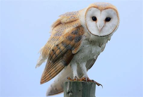 south carolina dnr employee helps barn owls thrive