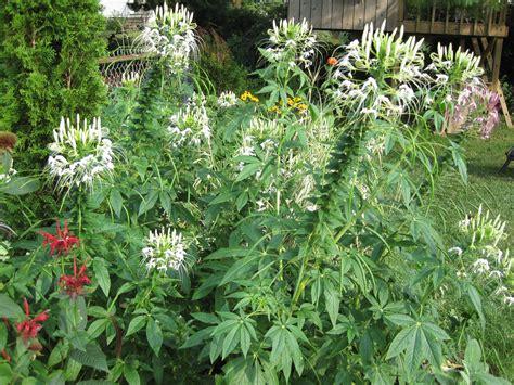 the white cleome mel s green garden