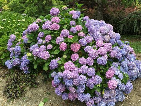 fiori ortensia come coltivare ortensia non sprecare