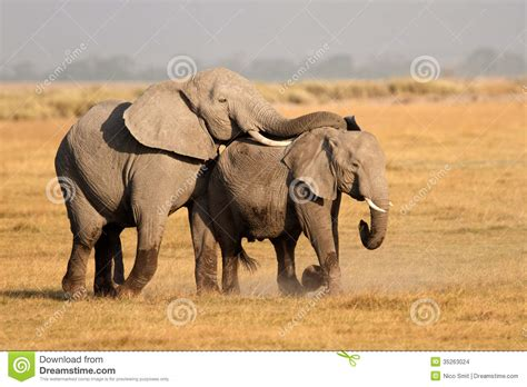 african animals mating videos mating african elephants stock photo image of tusks