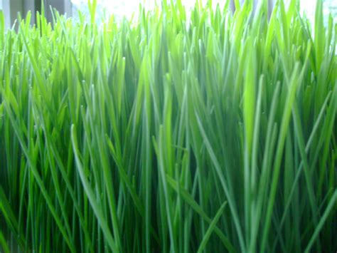 Wellness Wheat Grass wheat grass www imgkid the image kid has it