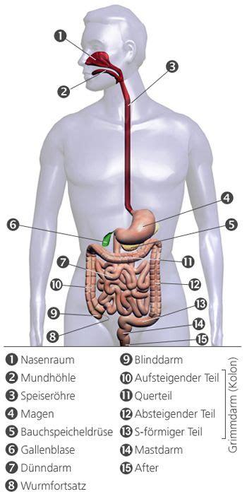 wo liegen die organe beim menschen aufbau und funktion leber galle und