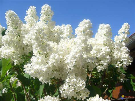 photo mon lilas blanc en fleurs de mon jardin