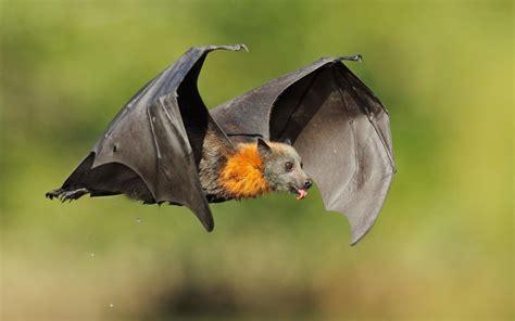 pipistrello le pipistrello quanto sei bello leganerd