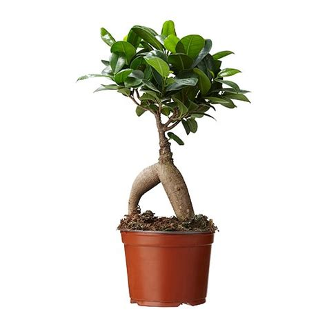 How To Decorate My Living Room by Ficus Microcarpa Ginseng Potted Plant Ikea