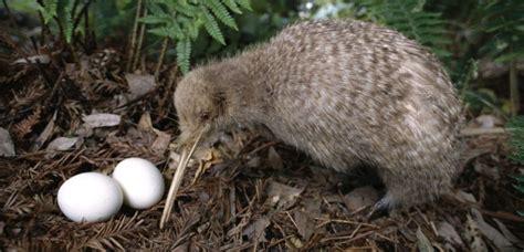 imagenes de animal kiwi le kiwi un animal format 233 pour vivre la nuit