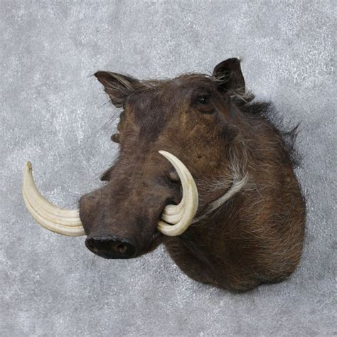 African Home Decor Catalog African Warthog Mount For Sale 12483 The Taxidermy Store