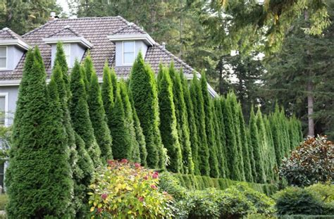 best evergreen hedge need a privacy plant evergreen trees and shrubs