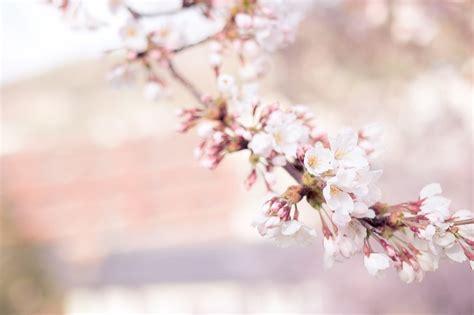 immagini fiori di ciliegio foto gratis fiori di ciliegio fiore immagine
