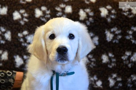 golden retriever puppies for sale denver golden