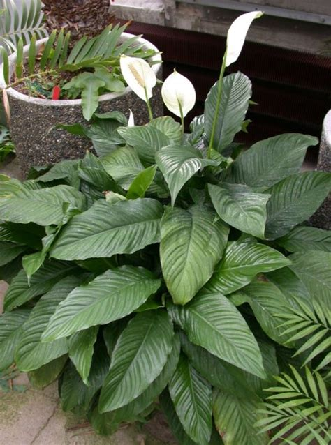 plant health can this peace lily be saved gardening top 15 nasa s plants that can save your life
