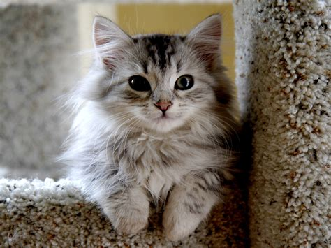 beautiful kittens small beautiful siberian cat wallpapers and images