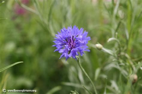 flower pictures cornflower picture 18
