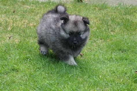 keeshond dogs keeshond puppies doune perthshire pets4homes