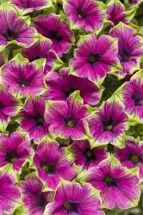 petunia colors supertunia 174 picasso in purple 174 petunia hybrid proven