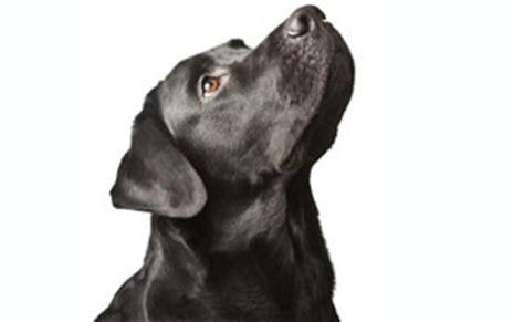 where do golden retrievers originate lab retriever everyone s favorite family pet