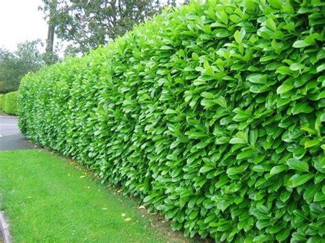 california privet hedge ligustrum ovalifolium for sale online