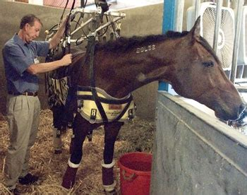 laminitis recovery plan uc davis discoveries supporting barbaro uc davis