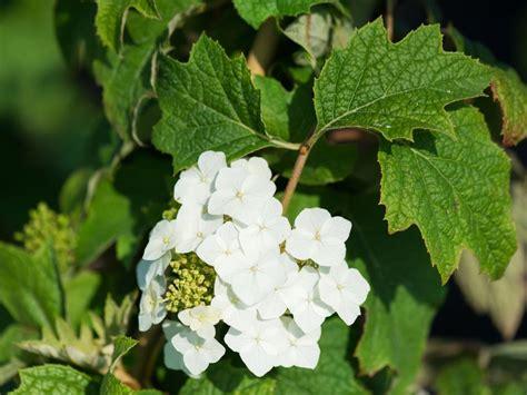 hortensien wann pflanzen hortensien pflanzen hortensien pflanzen infos