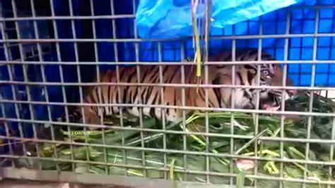 Pisau Sadap Fauna mongabay co id situs berita lingkungan