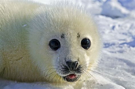baby seal pup baby seal pup photo information