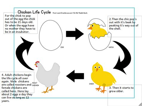 life cycle of a chicken photo cut out night life cycle of a chicken