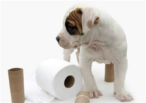 how to house train small dogs potty training a puppy dog potty training potty training dogs dog breeds picture